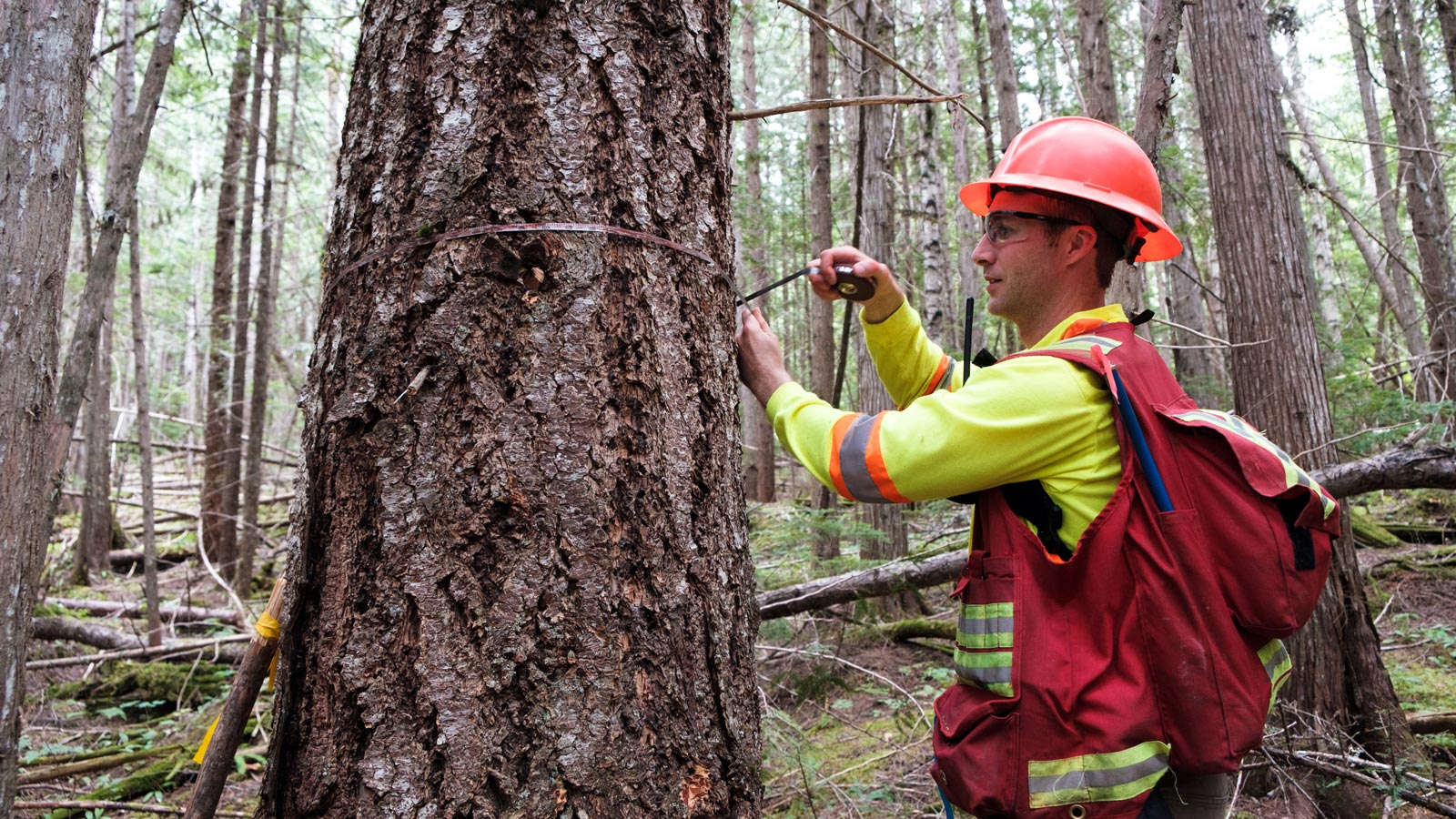 Worker measuring tree circumference